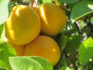 Lees meer over het artikel Sinaasappels groeien volop Marokko